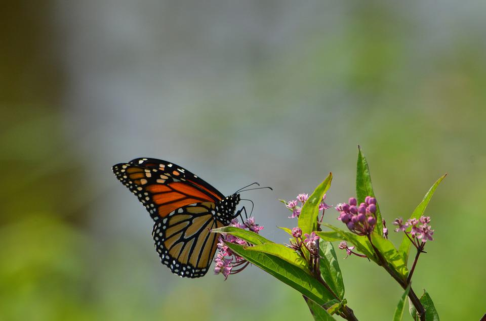 Monarch, Butterfly, Flowers, Insect, Orange, Colorful