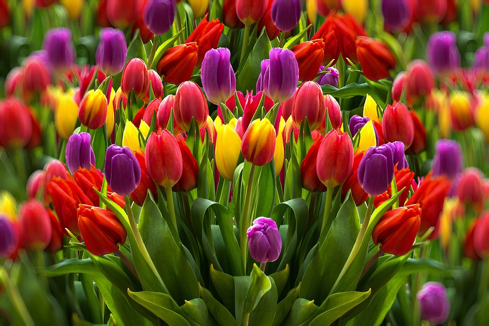 Tulips, Colorful, Flowers, Spring, Garden, Flora, Plant