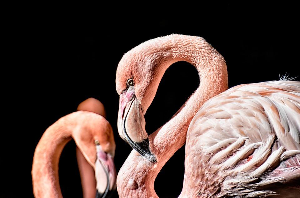 Flamingo, Bird, Colorful, Feather, Pride