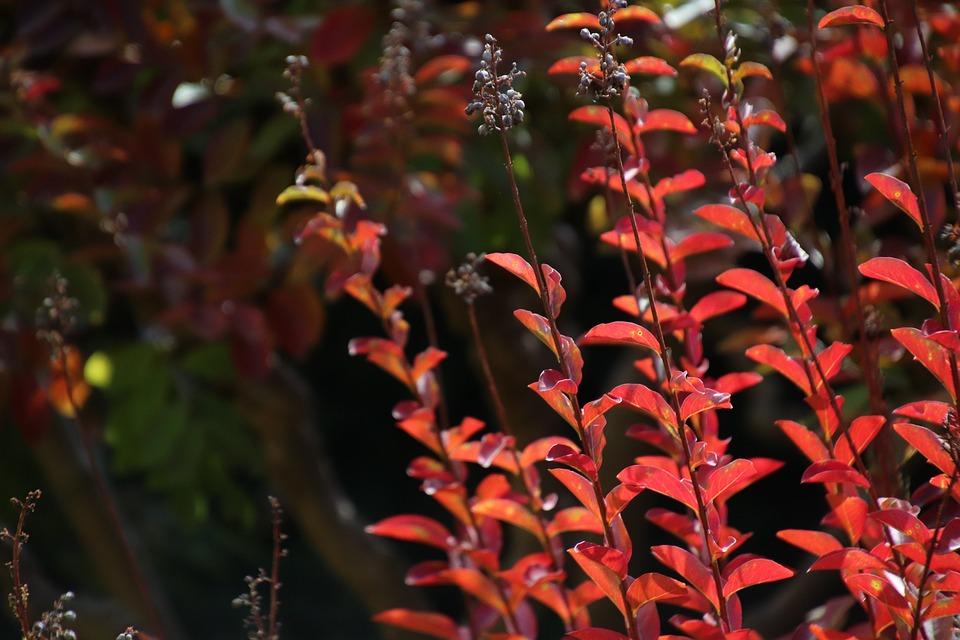 Leaf, Foliage, Red Color, Fall, Colorful, Nature, Shrub