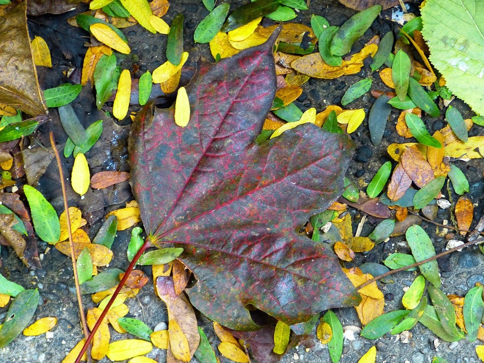 Leaf, Maple, Colorful, Leaves, Red Leaf, Autumn