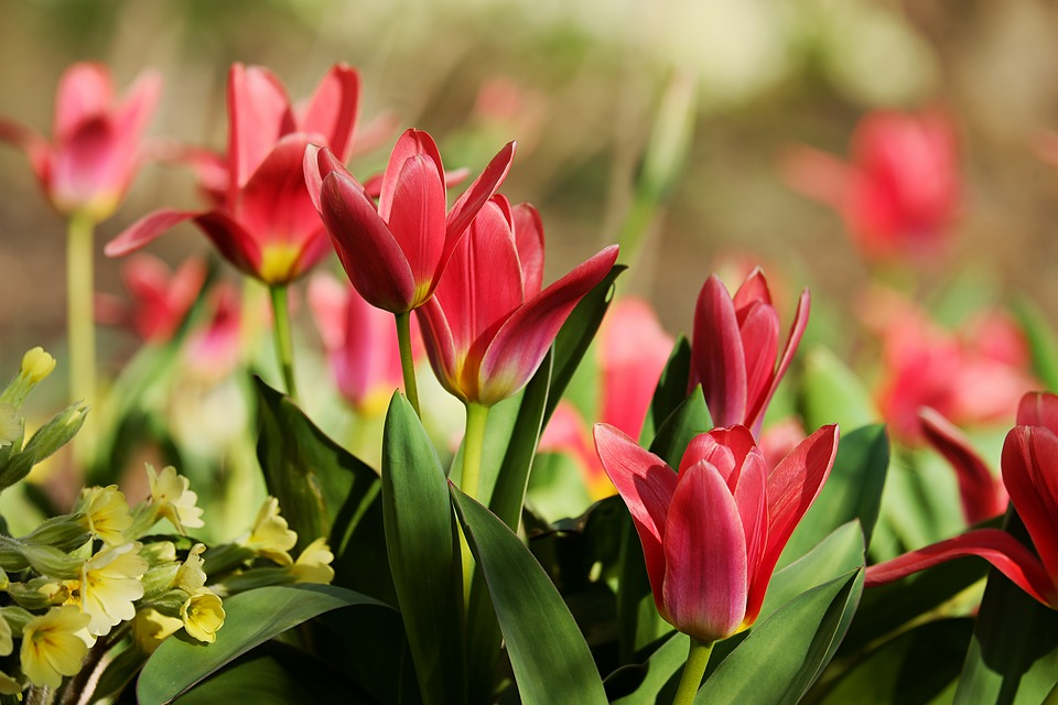 Tulips, Red, Flowers, Spring, Close Up, Colorful, Color