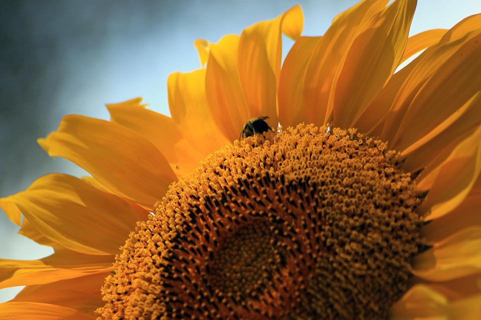 Sunflower, Bee, Summer, Sunshine, Colorful, Petals