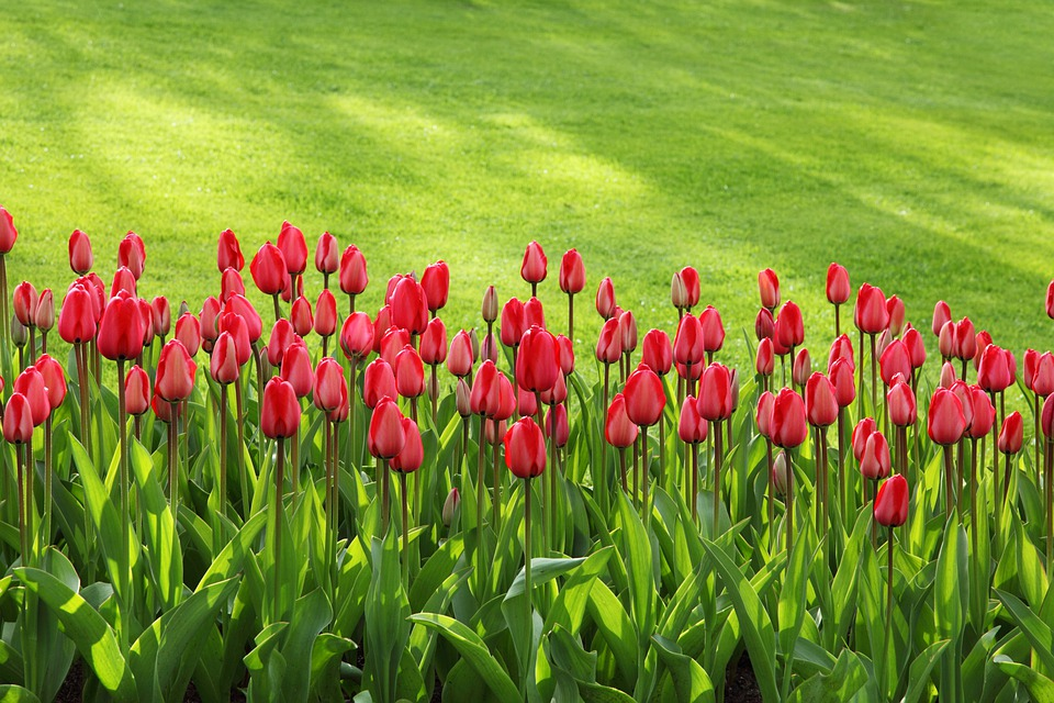 Tulips, Bloom, Blossom, Colorful, Flowers, Garden