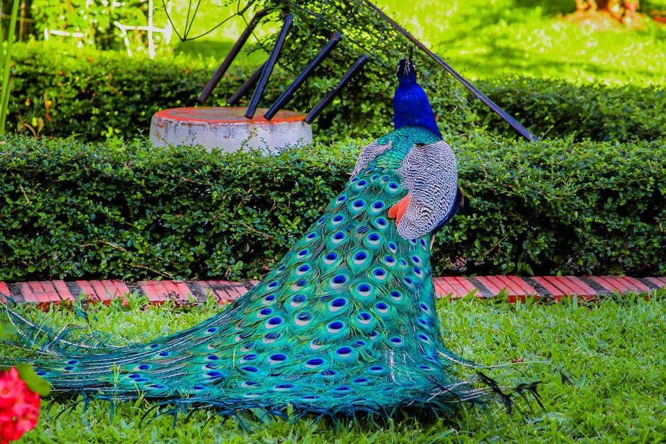 Turkey, Colors, Royal, Peacock, Colorful, Ave, Feathers