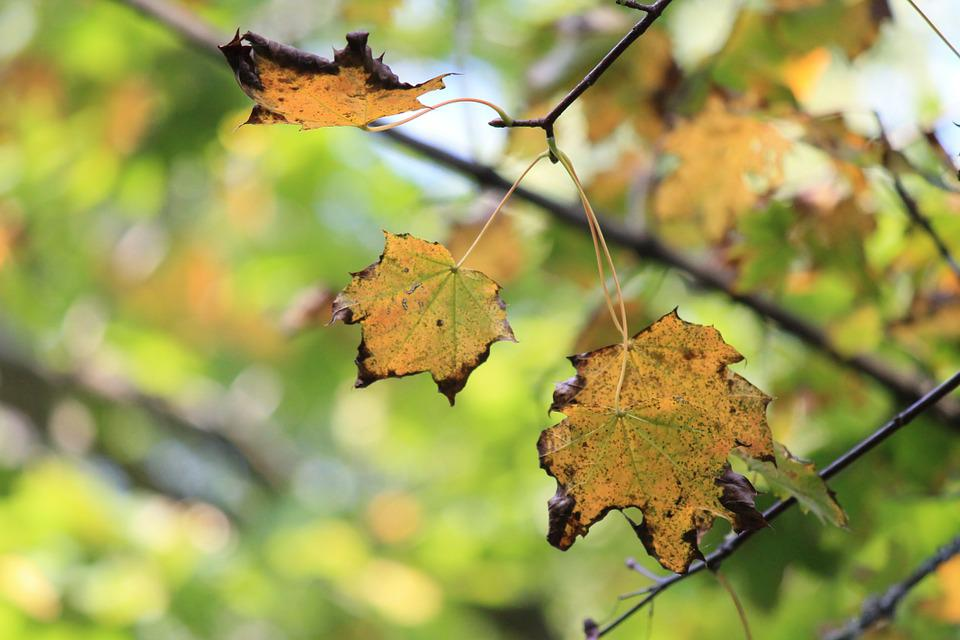 Autumn, Maple, Leaves, Colorful, Yellow, Emerge, Nature