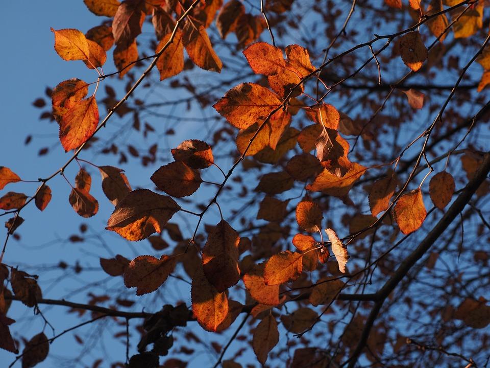 Wild Plum, Leaves, Red, Autumn, Coloring, Blood Plum