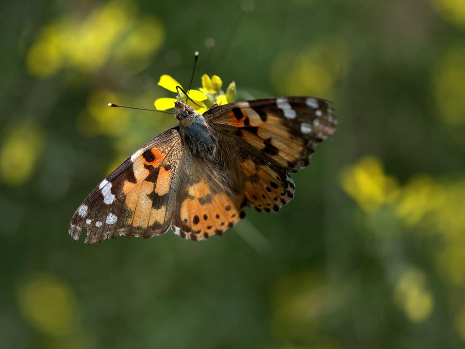 Butterfly, Rape, Wings, Coloring, Insecta