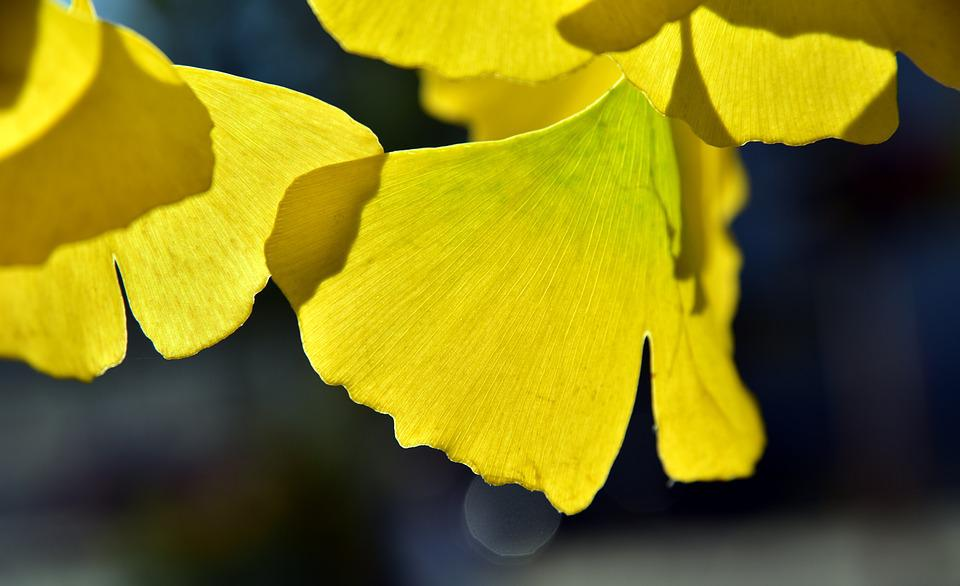 Ginko, Leaf, Yellow, Autumn, Coloring, Light