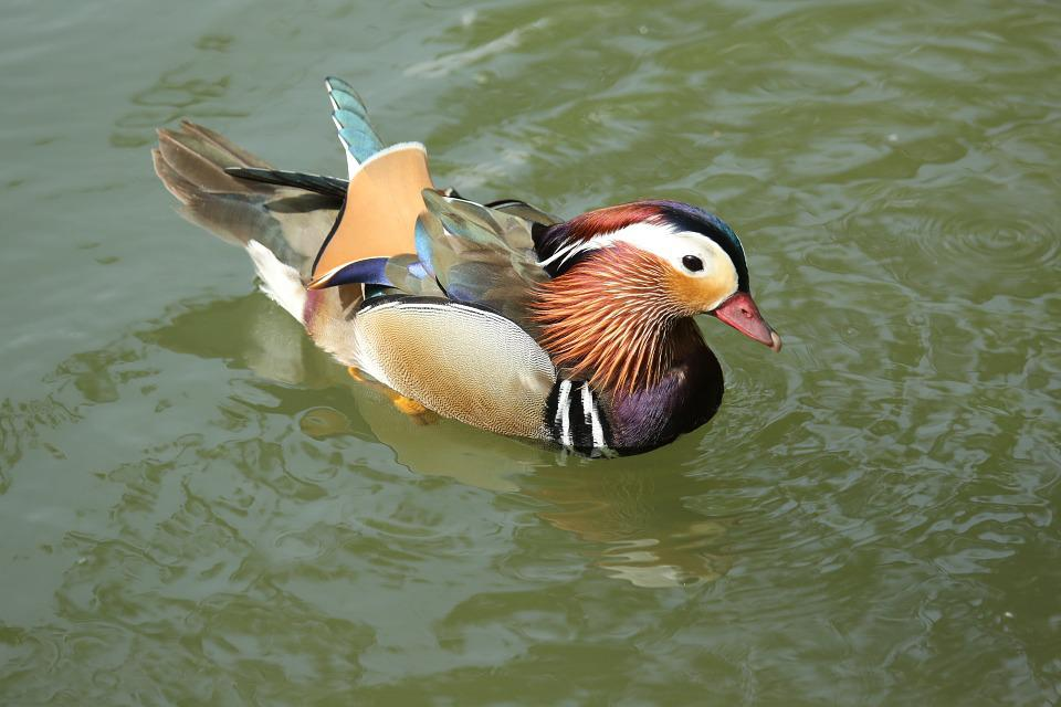 Bird, Duck, Colors