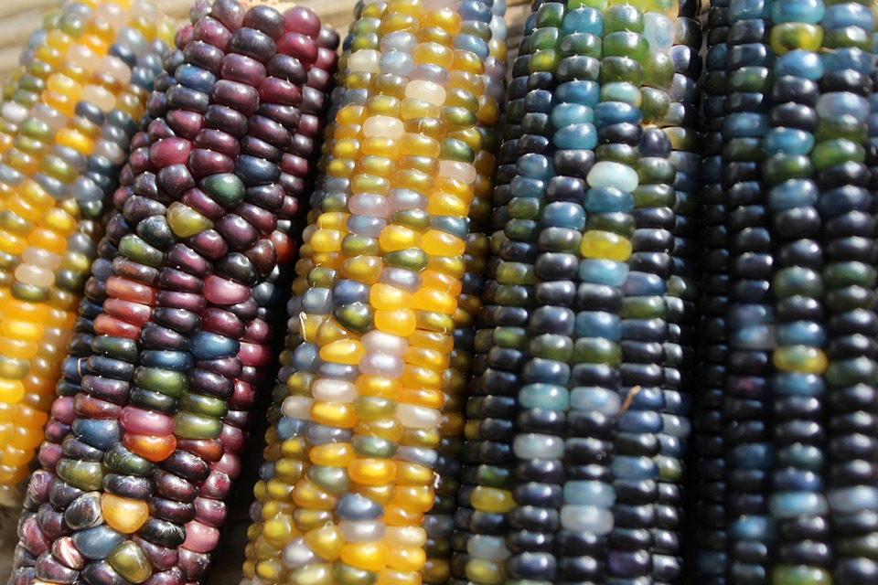 Corn, Harvest, Colors, Colors In Nature, Natural Colors