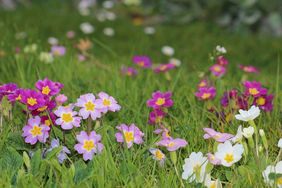 Flowers, Spring, Primrose, Colors, Nature, Garden