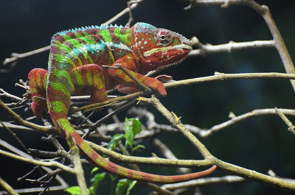 Chameleon, Vivarium, Colors, Blue, Water, Animal