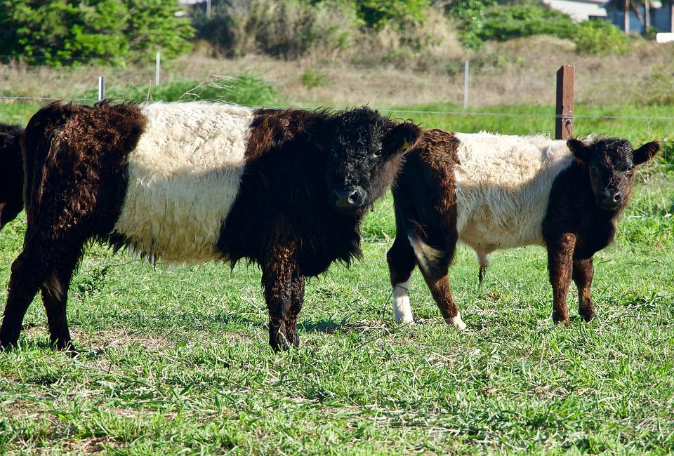 Cattle, Breed, Colour, Breeding, Calf, Agriculture