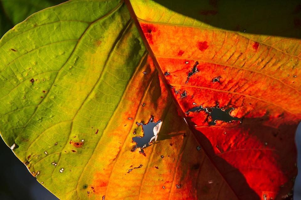 Leaf, Colourful, Bright, Bleeding Heart Tree