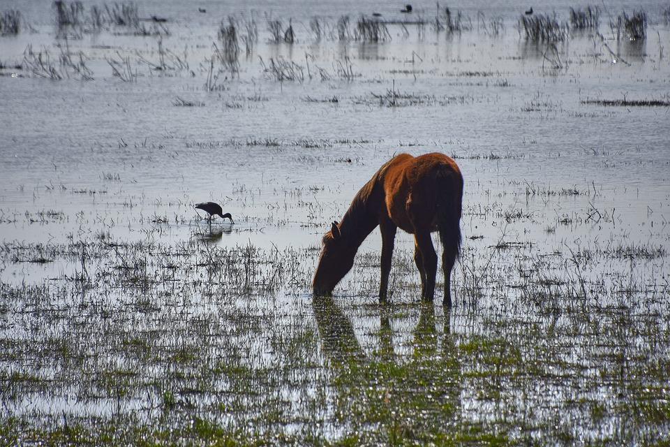 Marsh, Colt, Ave, Water, Animals, Nature