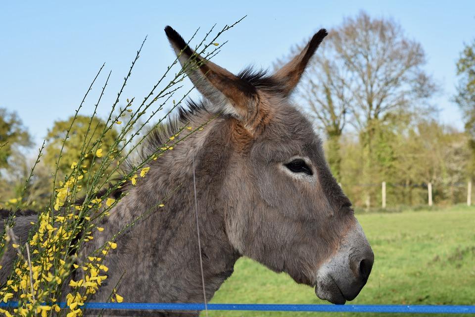 Donkey, Colt, Equine, Animal, Donkeys Grey Color