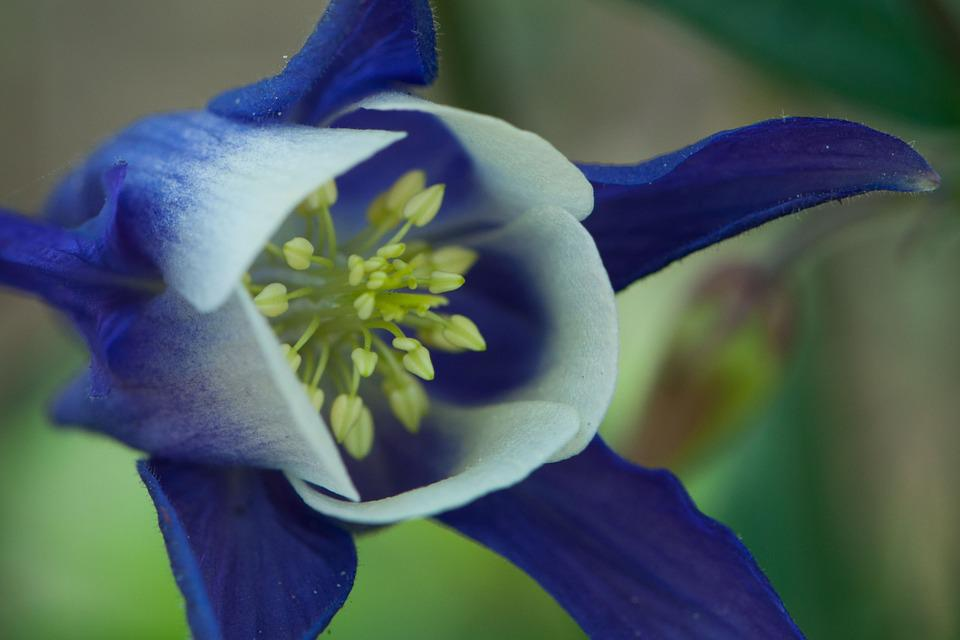 Columbine, Blue, Flower, Spring