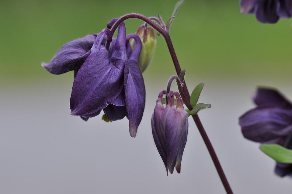 Columbine, Flower, Plant, Flowers, Violet, Garden
