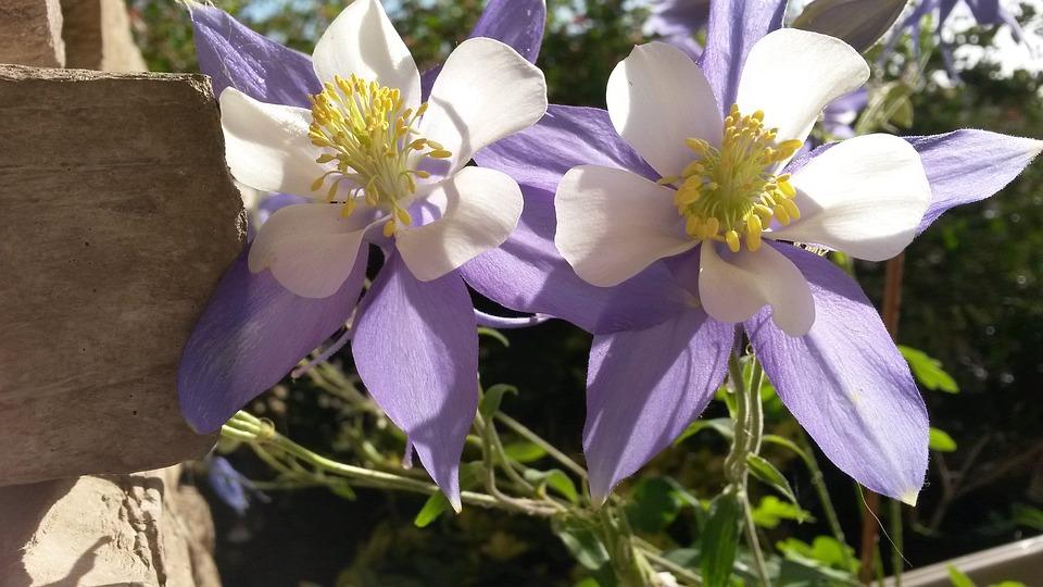 Columbines, Purple Flowers, Purple, Flower