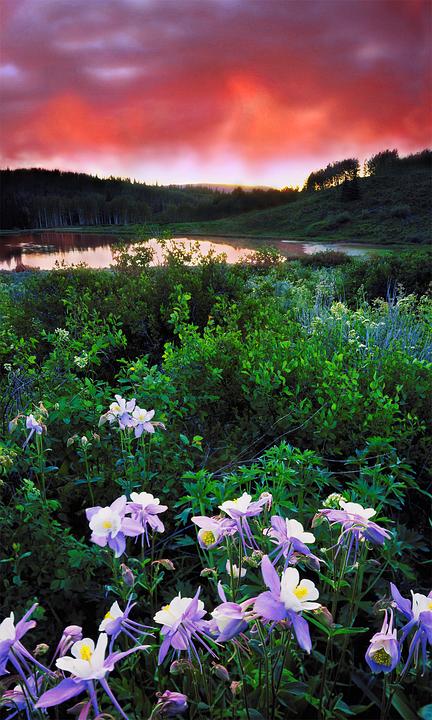 Columbines, Colorado, Sunset, Wildflower