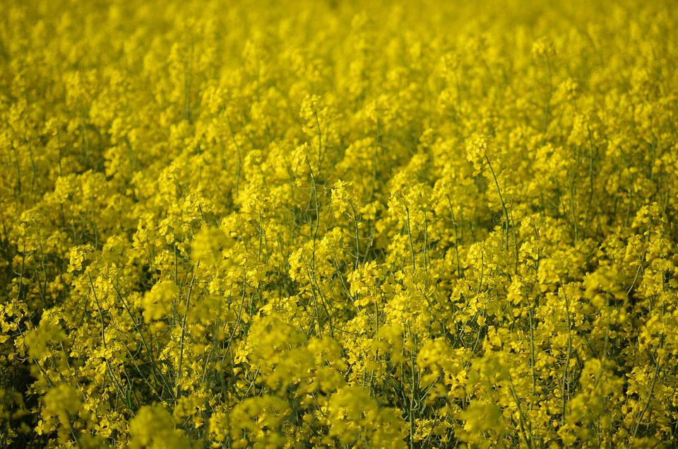 Colza, Rape, Field, Yellow