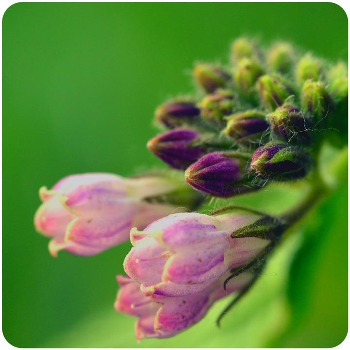 Comfrey, Flower Buds, Flower