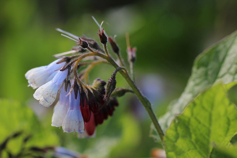 Comfrey, Wild Flowers, Nature, Garden, Plants, Summer