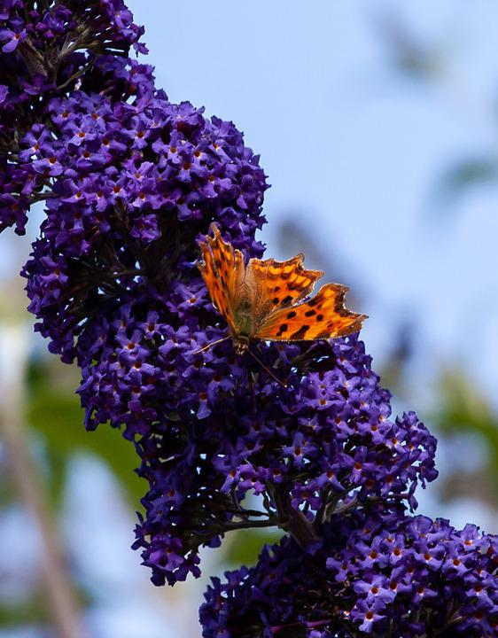 Comma Butterfly On Lilac, Comma Butterfly