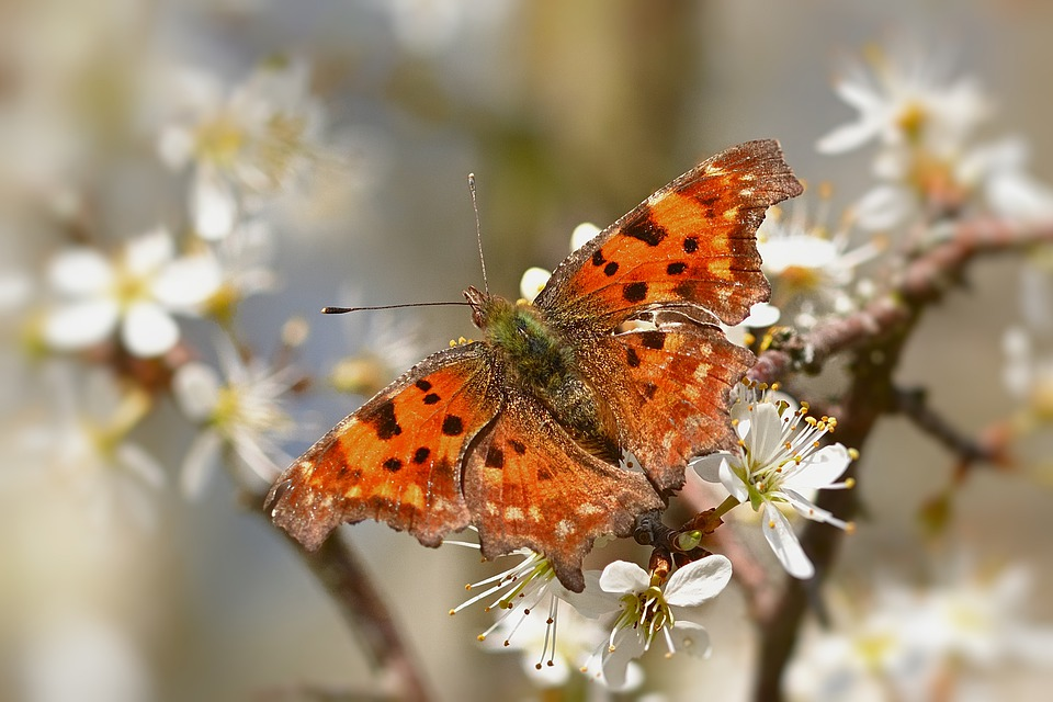Butterfly, Flowers, Pollinate, Pollination, Comma