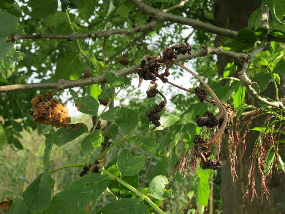 Fraxinus Excelsior, Ash, Common Ash, European Ash, Tree