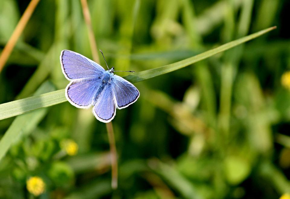 Common Blue, Butterfly, Butterflies, Common Bläuling