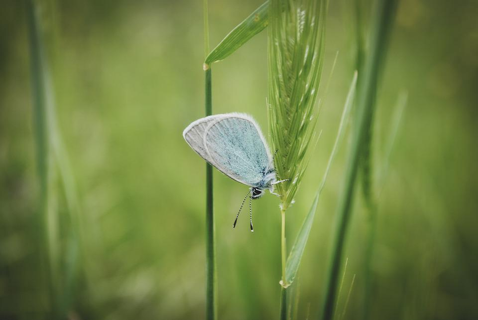 Common Blue Butterfly, Insect, Grass, Butterfly, Wings