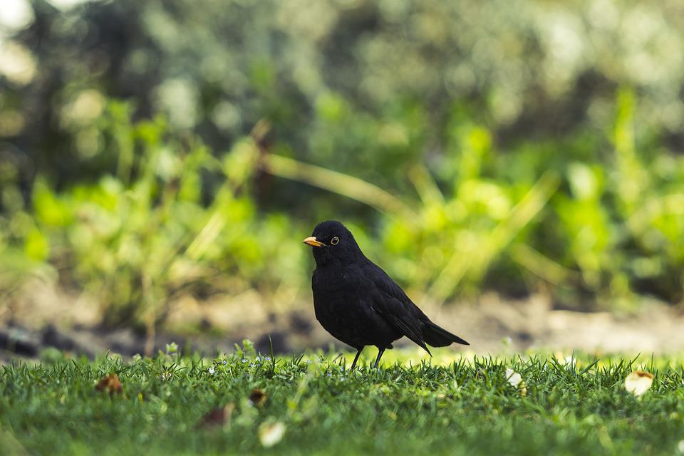 Common Blackbird, Park, Common, Blackbird, Nature, Bird