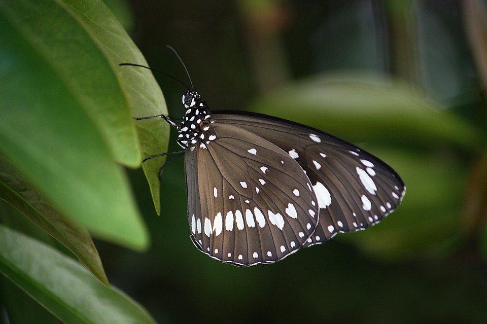Butterfly, Wings, Insect, Common Crow, Brown, Spots