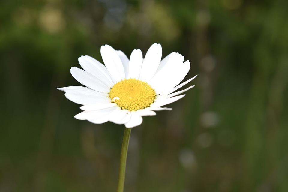 Marguerite, Common Daisy, White Flower, Petals