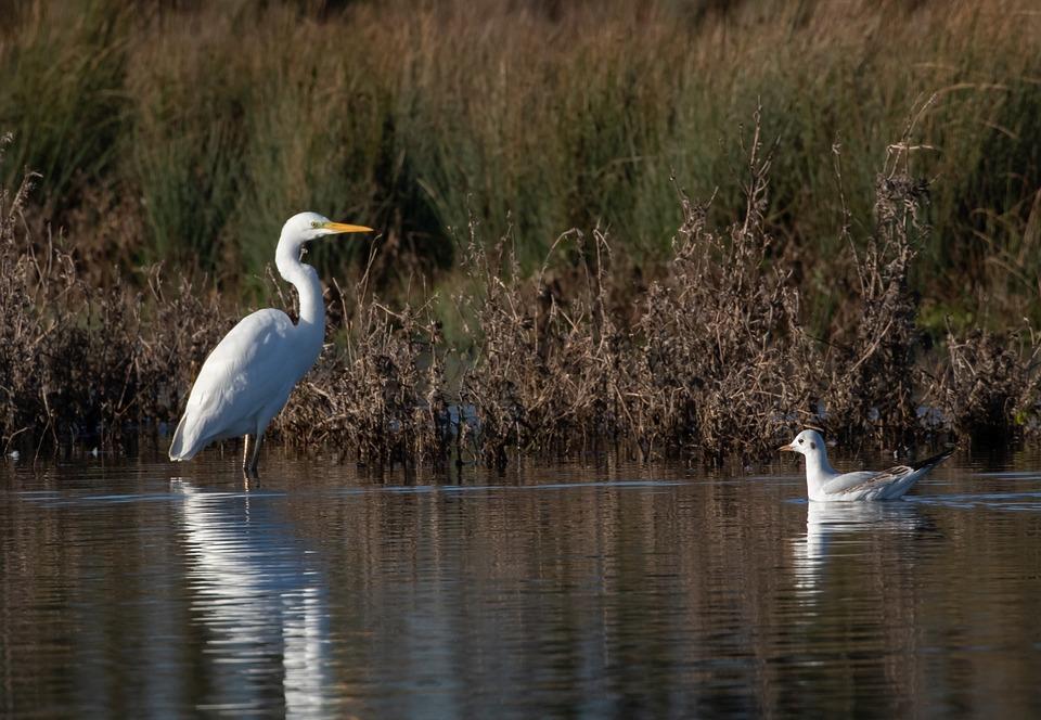 Great White Egret, Wading Bird, Common Egret