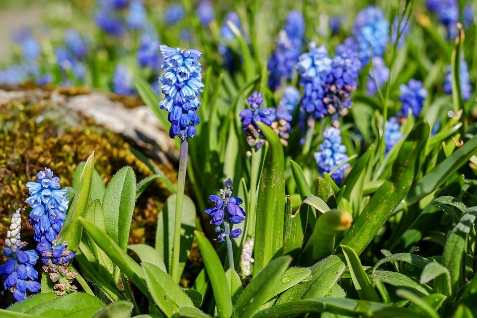 Muscari, Common Grape Hyacinth, Flower, Blossom, Bloom
