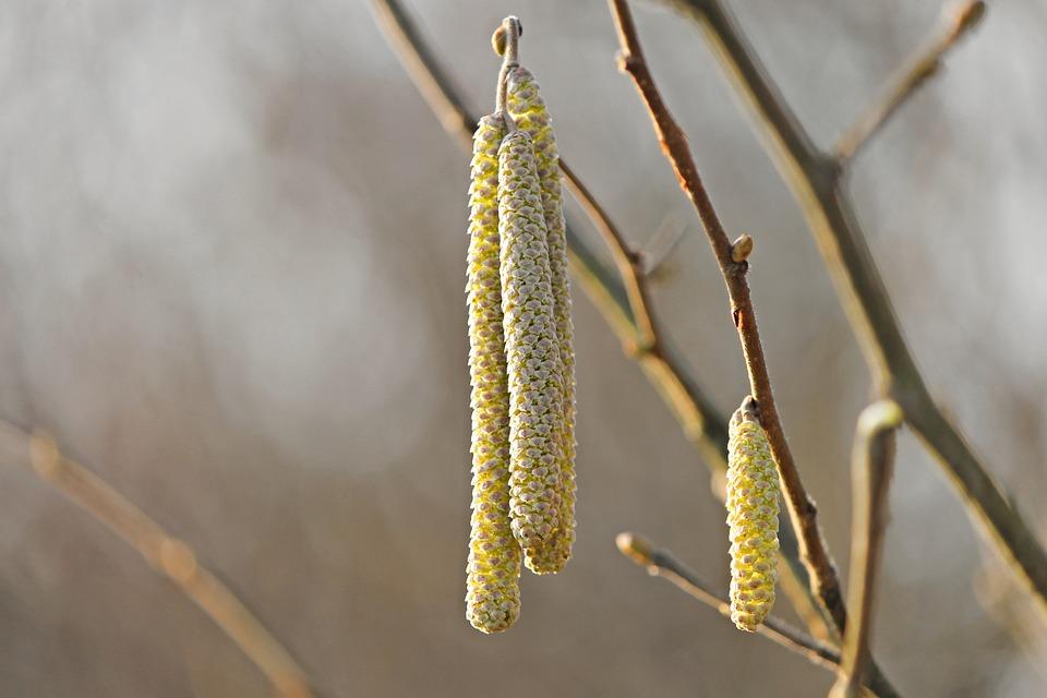 Blossom Kitten, Yellow, Hazelnut, Common Hazelnut