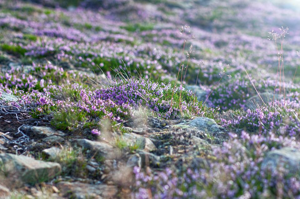 Common Heather, Calluna, Snezka, Meadow, Nature, Grass
