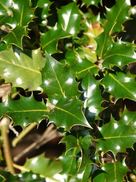 European, Holly, Leaves, Ilex, Aquifolium, Common