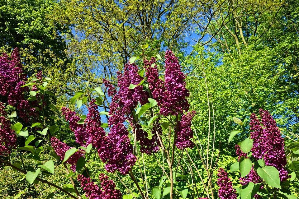 Lilac, Common Lilac, Shrub, Woody Tree, Flower