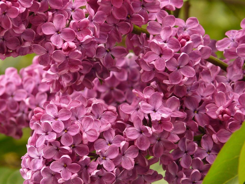 Lilac, Common Lilac, Ornamental Shrub, Bush, Plant
