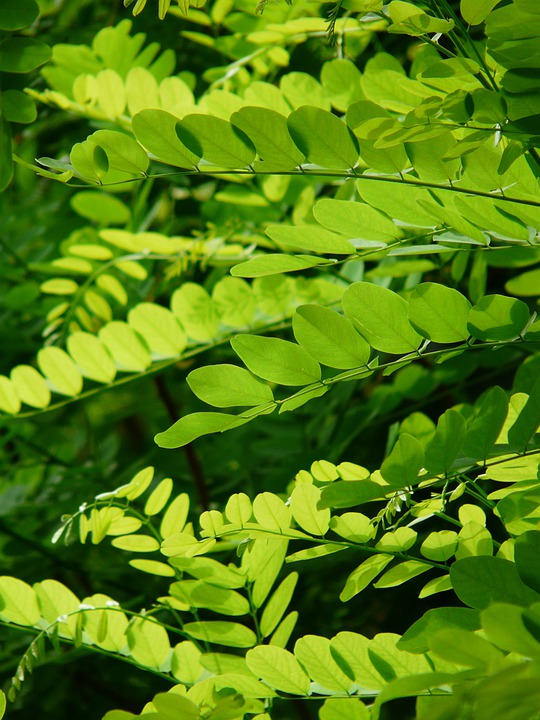 Leaves, Green, Common Maple, Robinia Pseudoacacia