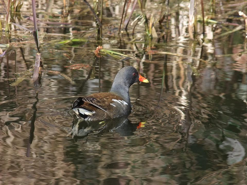Moorhen, Waterfowl, Canal, Common Moorhen