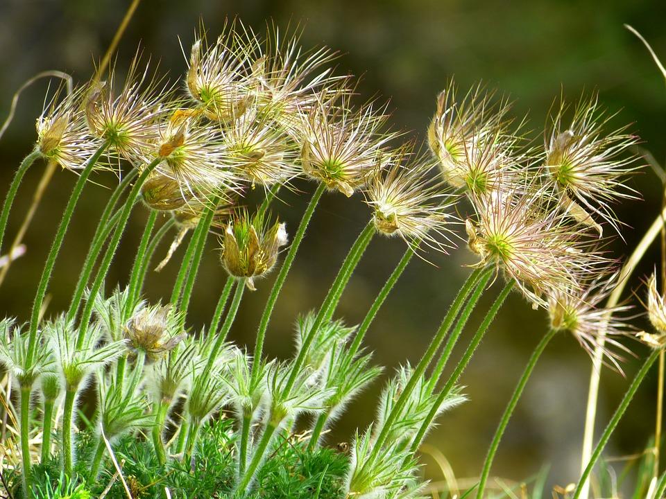 Pasque Flower, Common Pasque Flower