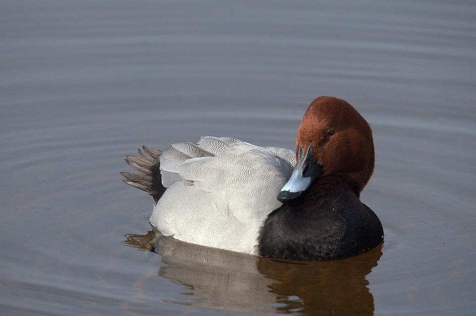 Common Pochard, Marquenterre Park, Bird, Fauna
