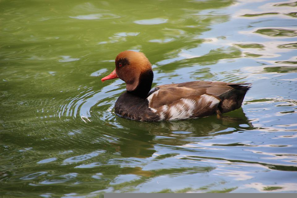 Duck, Bird, Waterfowl, Pochard, Common Pochard