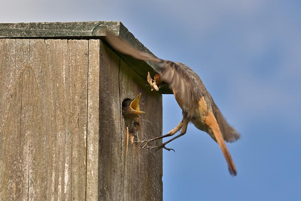 Common Redstart, Feed, Female, Animal World, Plumage