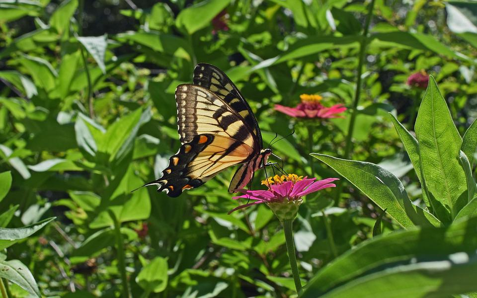 Common Swallowtail On Zinnia, Butterfly, Insect